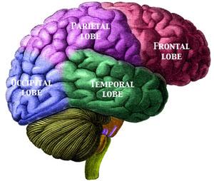 lobes of brain