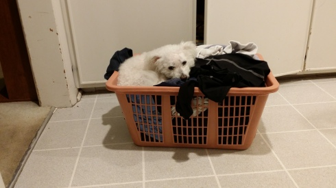 Bella helps me fold the laundry